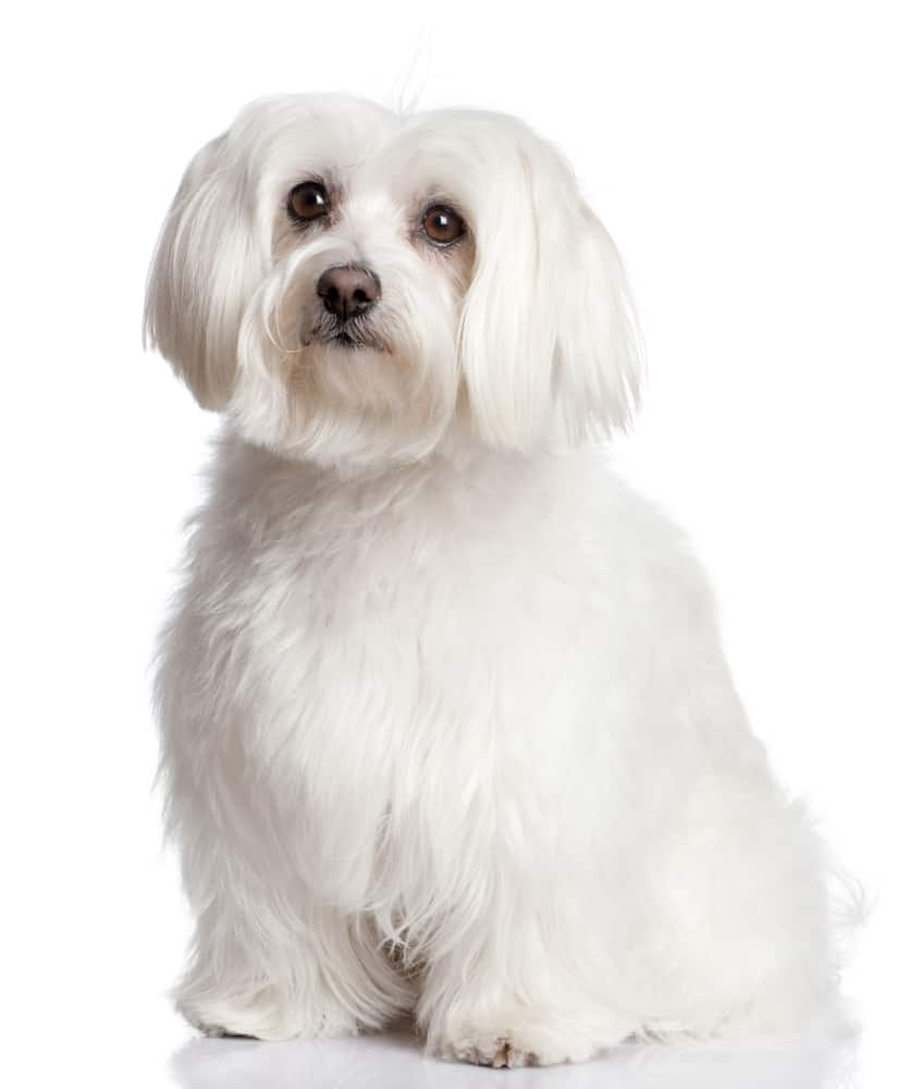 This image has an empty alt attribute; its file name is Maltese-Bichon-1.jpg