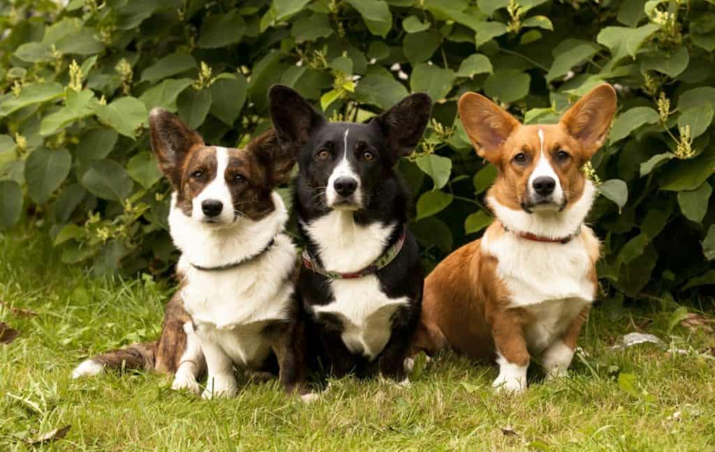 This image has an empty alt attribute; its file name is pembroke-welsh-corgi-pack-1024x648.jpg