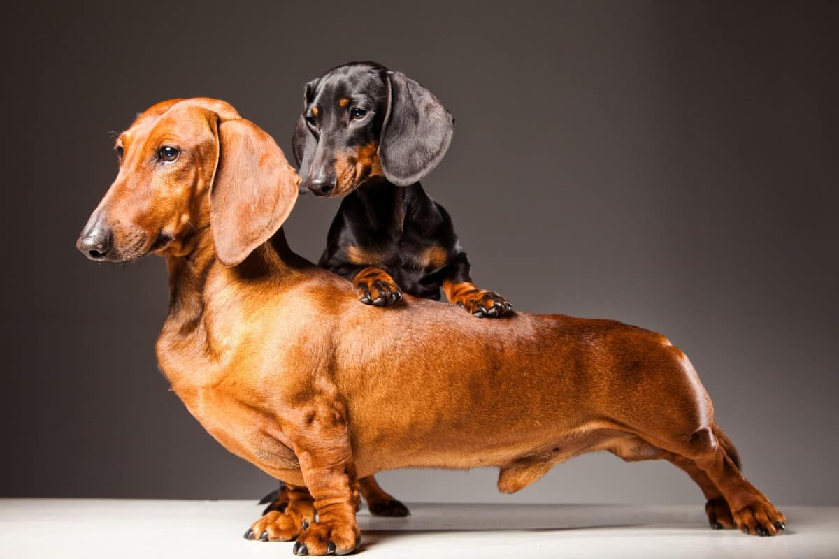 Tapeta: Dachshunds puppy are playing on the grass